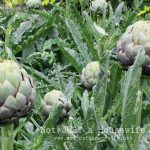 Growing Artichokes (And I need your advice!)