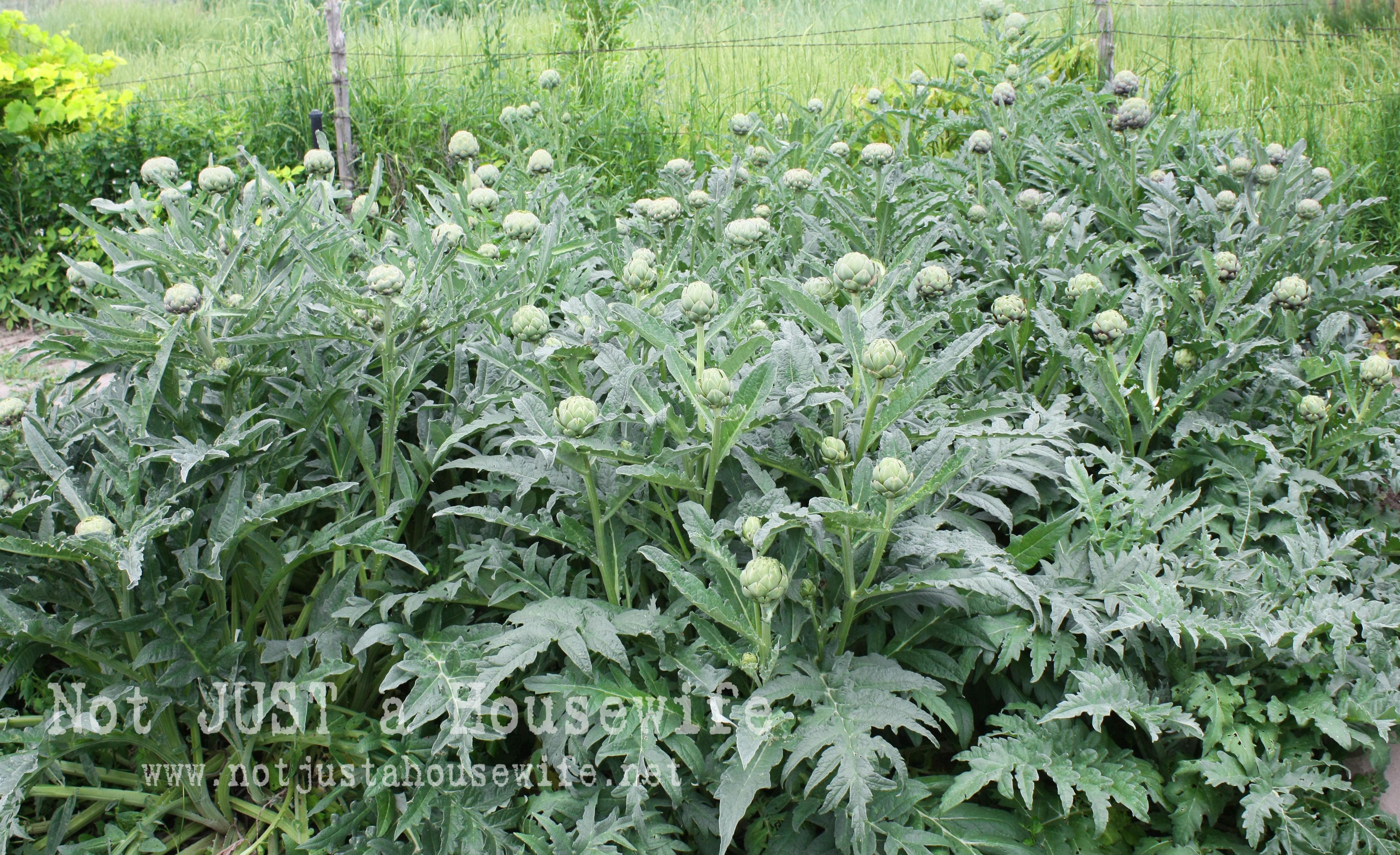 Picture Of Artichoke Plant , Garden Design Ideas