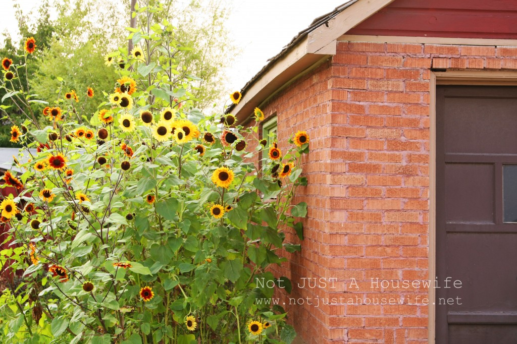 giant sunflowers 1024x682 Unique Shoe Storage {My Side Porch}