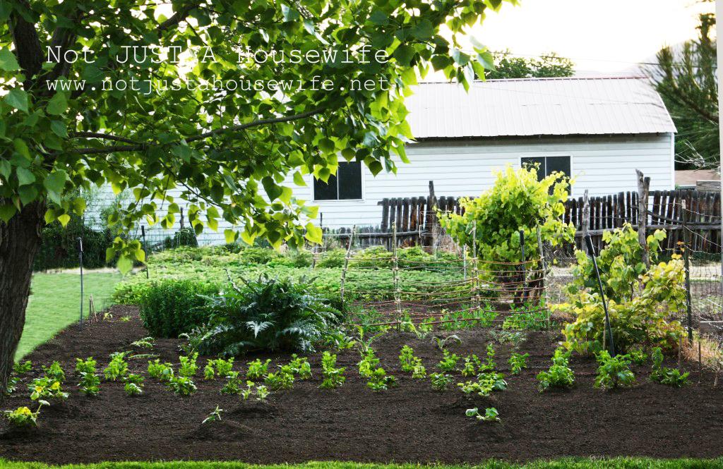 garden, tilled to controll weeds