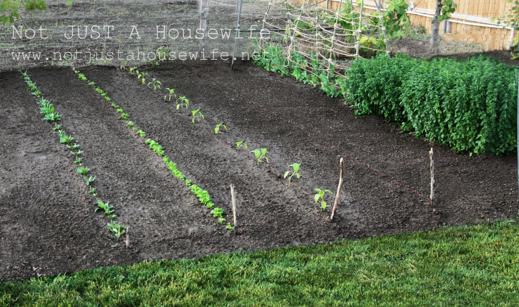 garden with tilled rows to control weeds