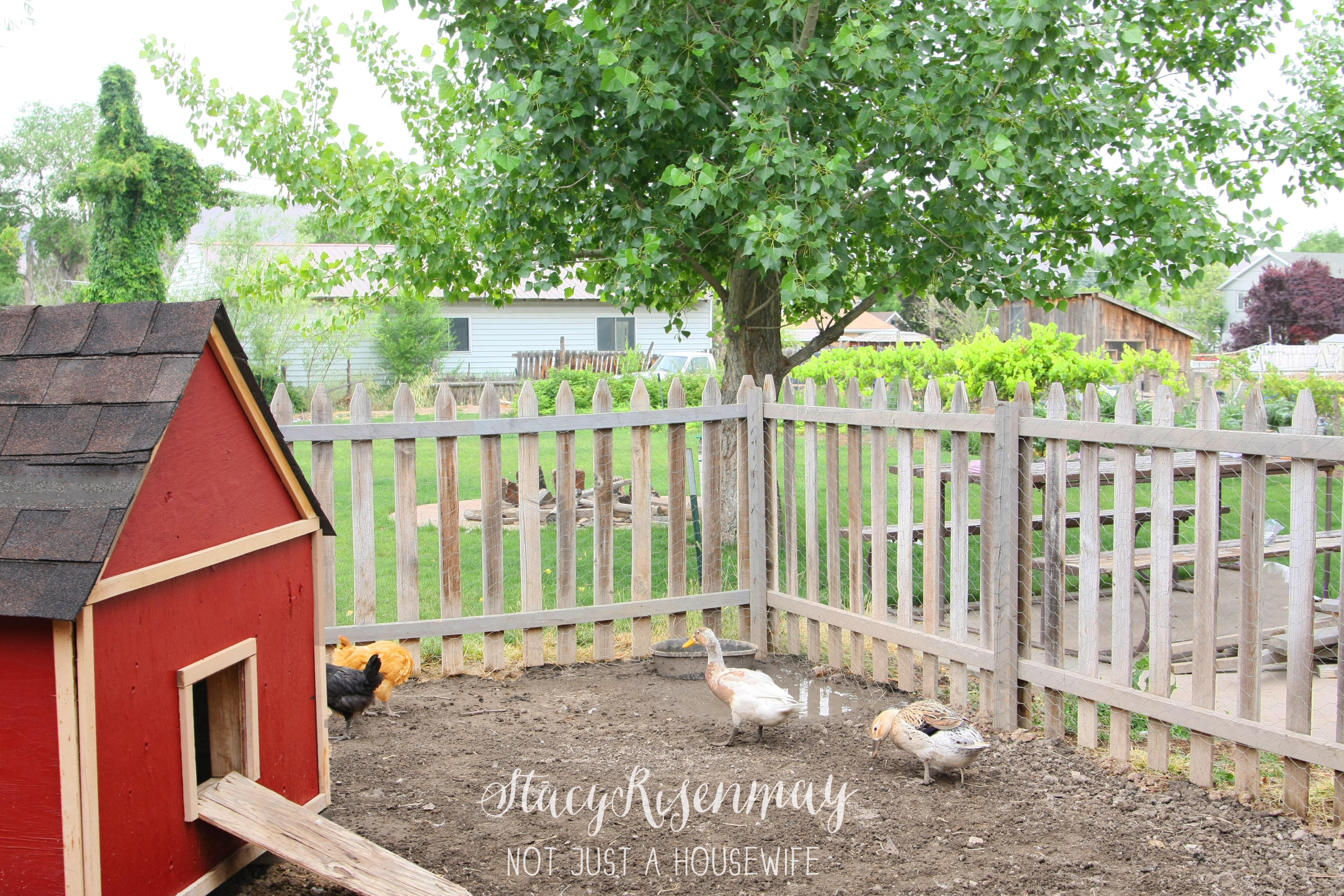 Raising Backyard Chickens - Stacy Risenmay