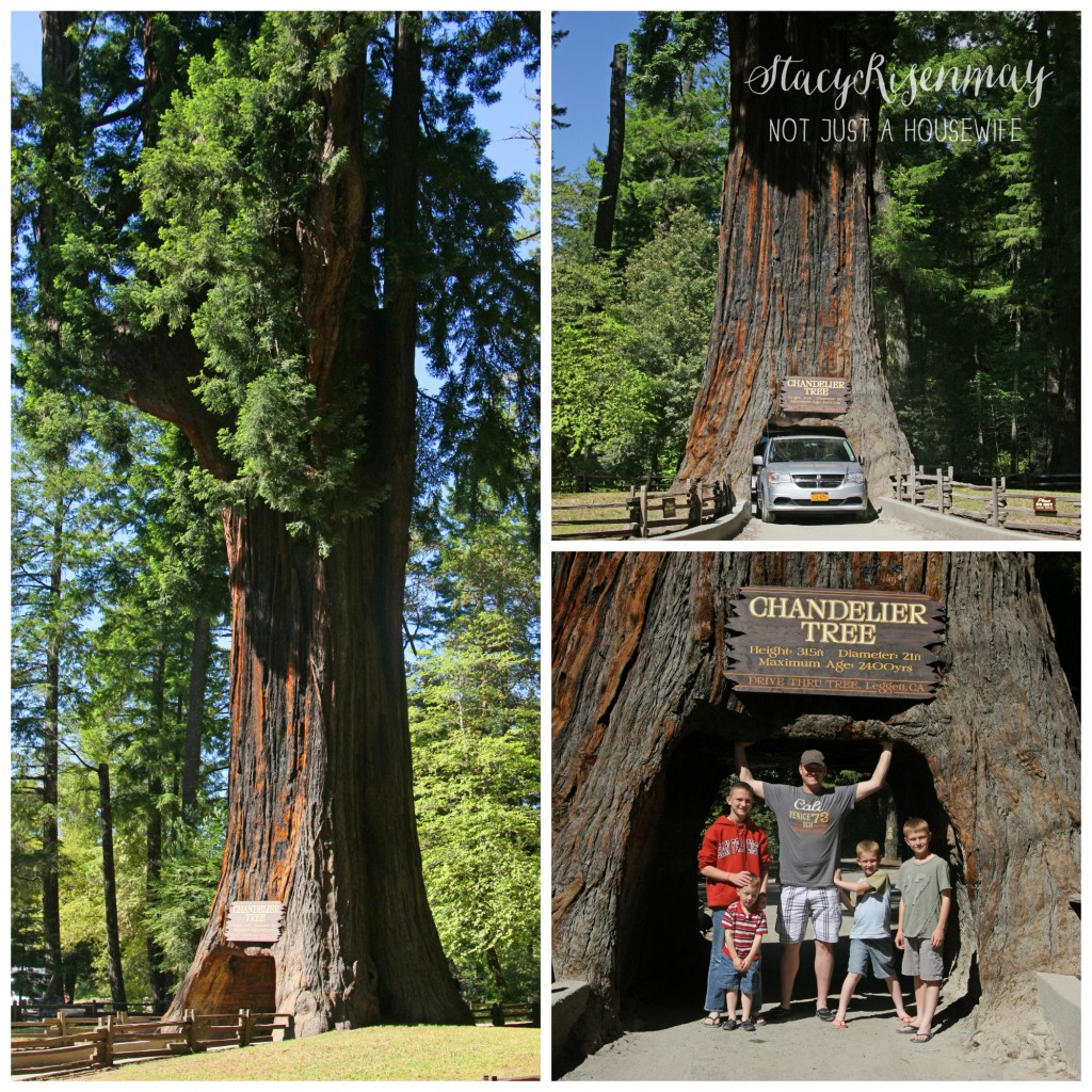 drive through redwood tree 1