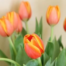 featured tulip