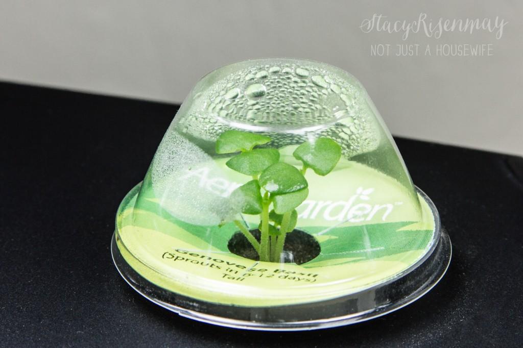 growing basil areogarden