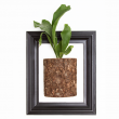 featured-staghorn-fern-pic
