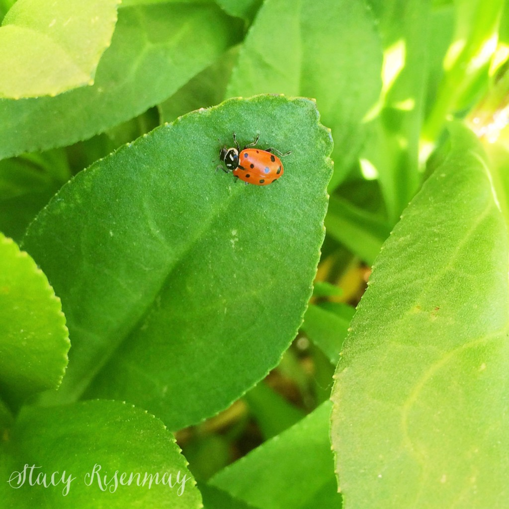ladybugs for pest control