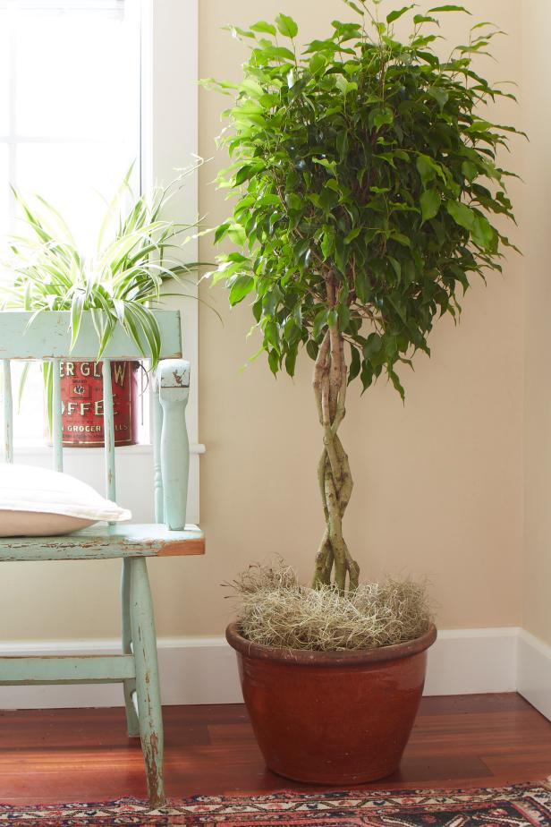 15 easy to care for houseplants! ficus tree