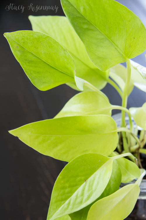 15 easy to care for houseplants! golden-pothos