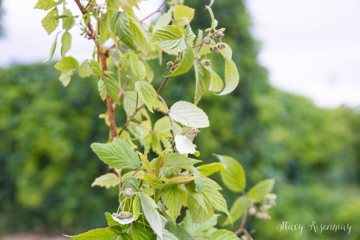 raspberry-plants