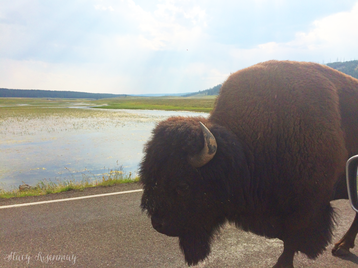 buffalo-at-Yellowstone