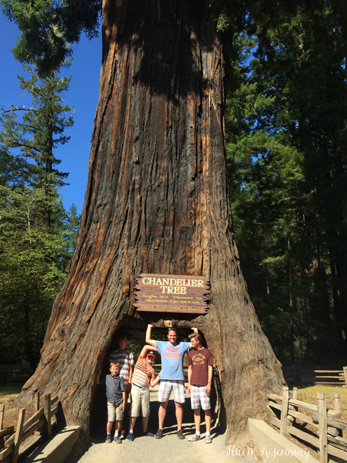Drive through redwood tree