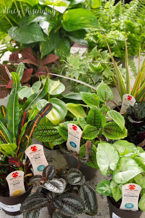 Exotic Angel Houseplants from Costa Farms
