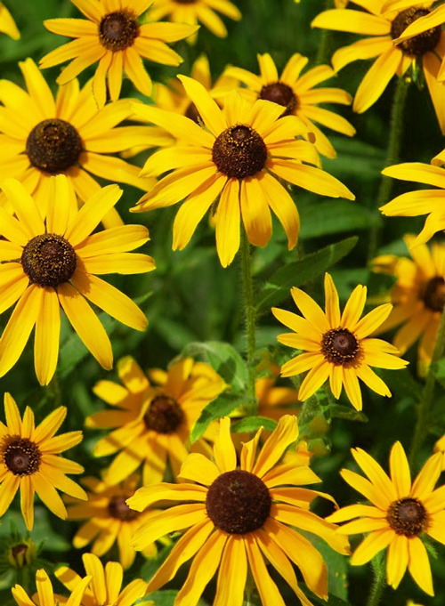 15 Perennial Flowers That Are Easy To Grow Stacy Risenmay