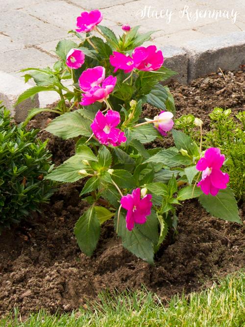 sunpatiens plant