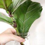 Propagating a Fiddle Leaf Fig